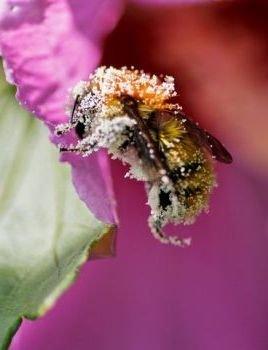 'Bee Pollen'