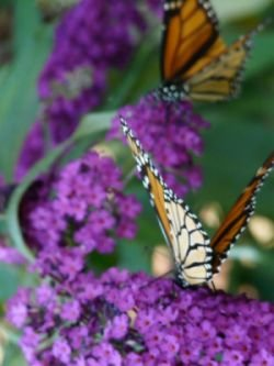Monarch Butterflies on Butterfly Bush