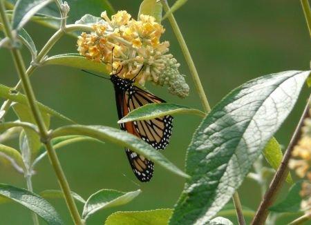 Pruning Butterfly Bush