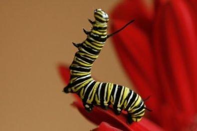 Acrobatic Butterfly Caterpillar