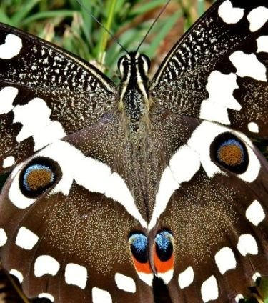 I really don't belong here but was just stopping by to say 'Hi'.  I'm a Citrus papilio.