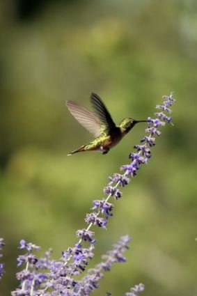 Many flowers that attract butterflies are also flowers for hummingbirds.